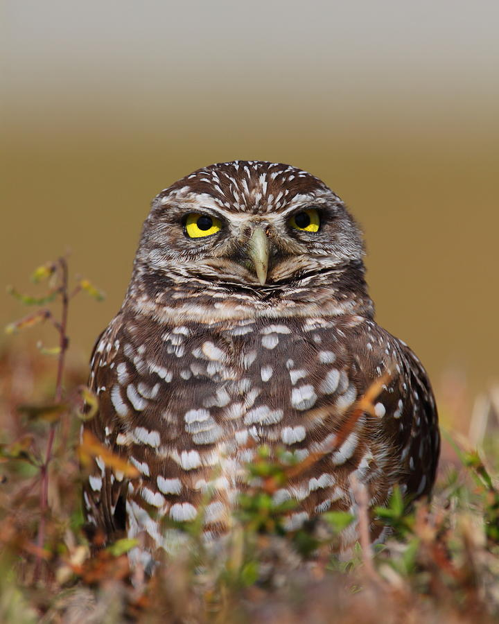 Owls Photograph - Burrowing Owl II by Bruce J Robinson