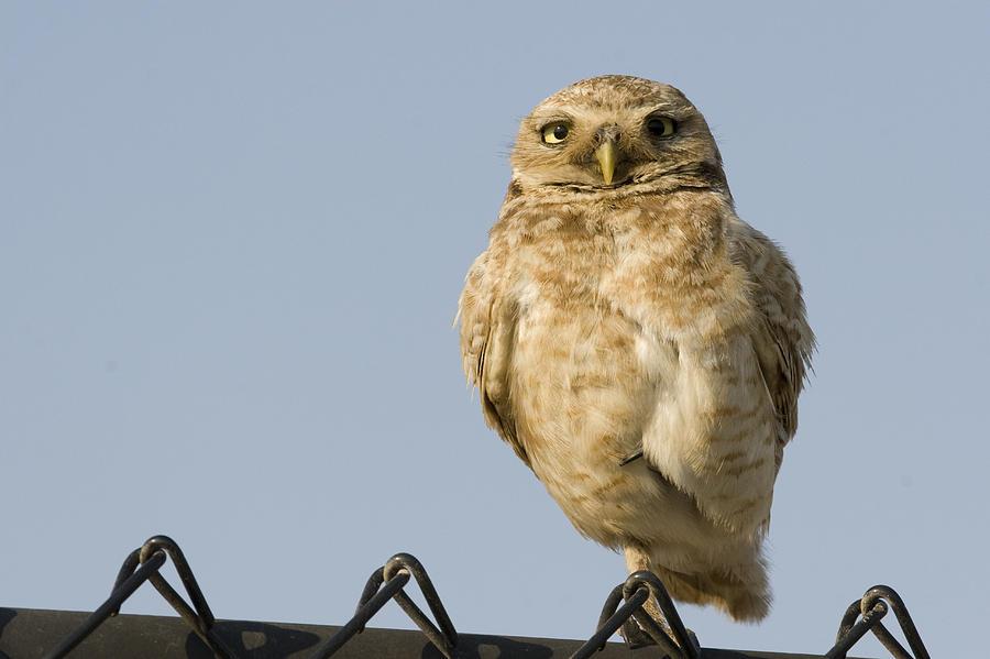 Burrowing Owl On Fence Alviso California Photograph by Sebastian Kennerknecht