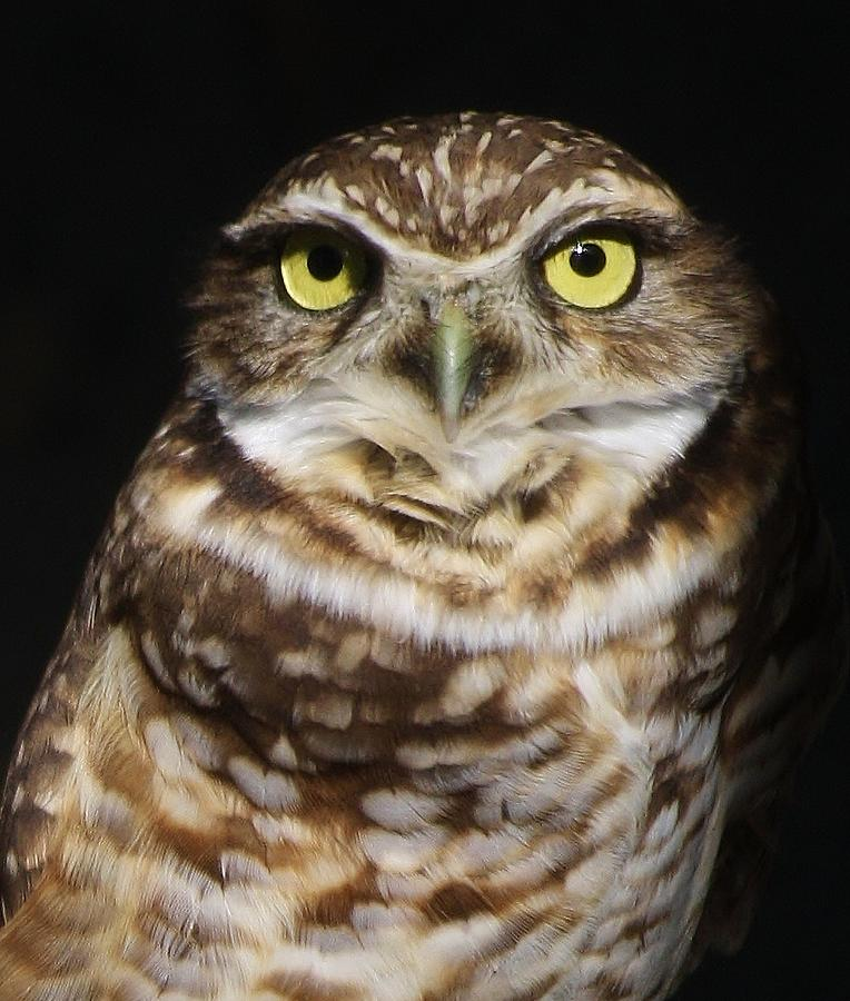 Owl Photograph - Burrowing Owl by Paulette Thomas