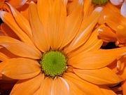 Floral Photograph - Burst by Michelle Guilzon