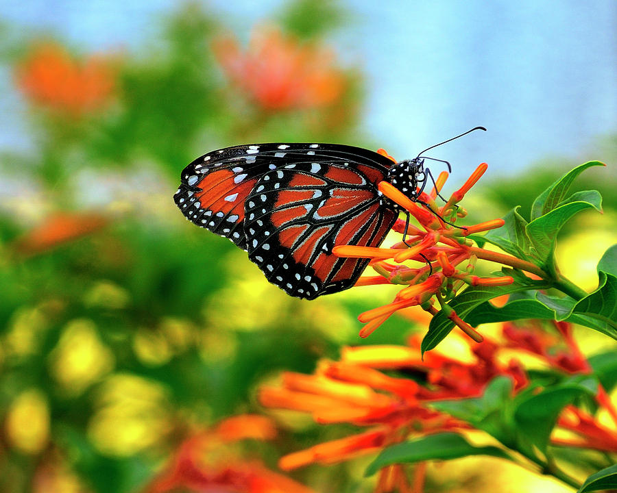 Butterfly Photograph - Burst Of Color by Bill Dodsworth