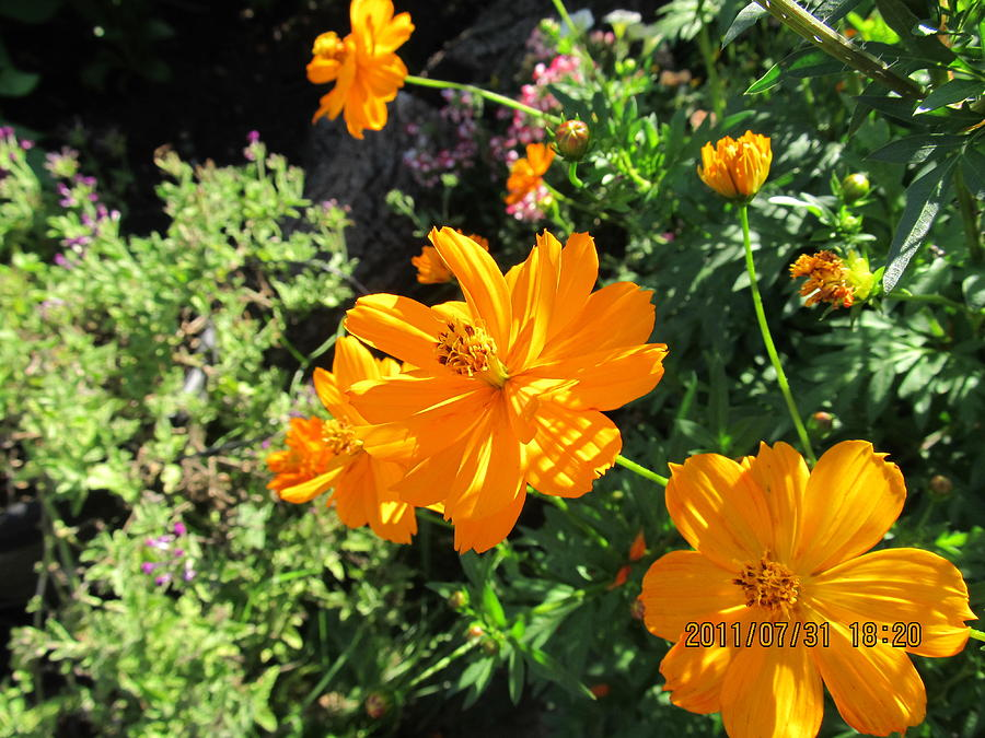 Flowers Photograph - Burst Of Orange by Tina M Wenger