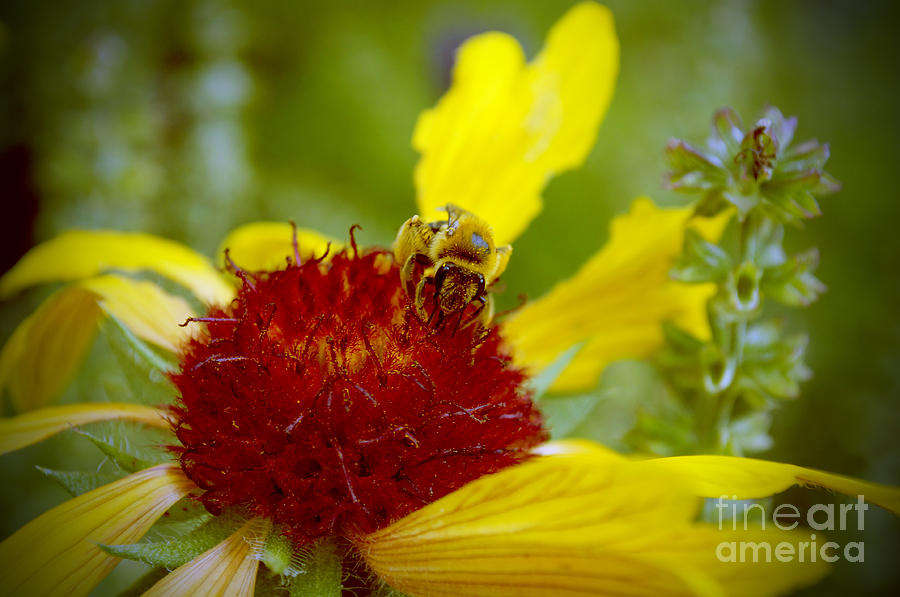 Bee Photograph - Busy Bee by Anjanette Douglas