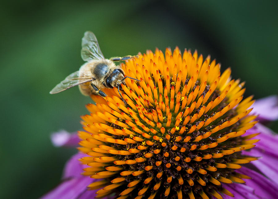 Flower Photograph - Busy Bee by Jen Morrison