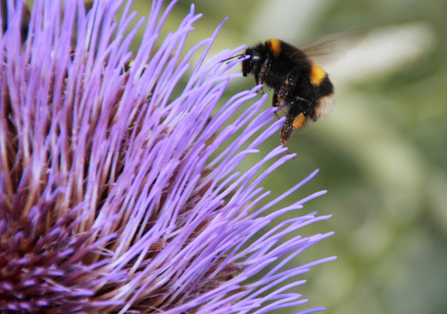 Bumble Bee Photograph - Busy Bee by Karen Grist