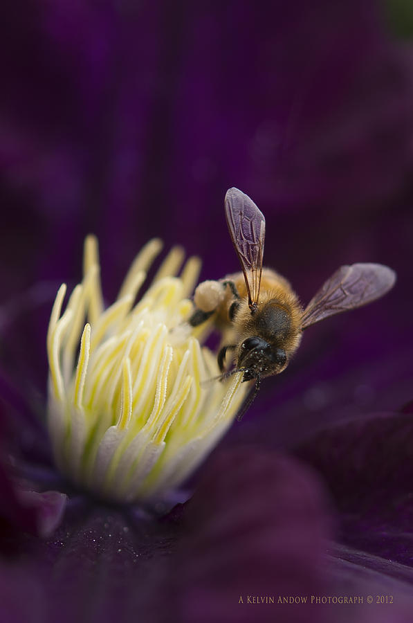 Flower Photograph - Busy Bee by Kelvin Andow