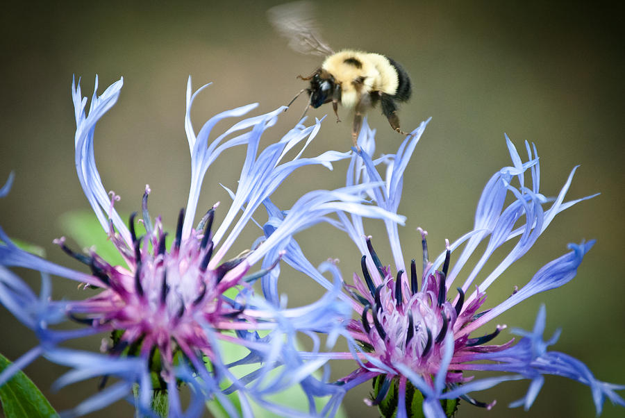 Bee Photograph - Busy Bee by Laura Pineda