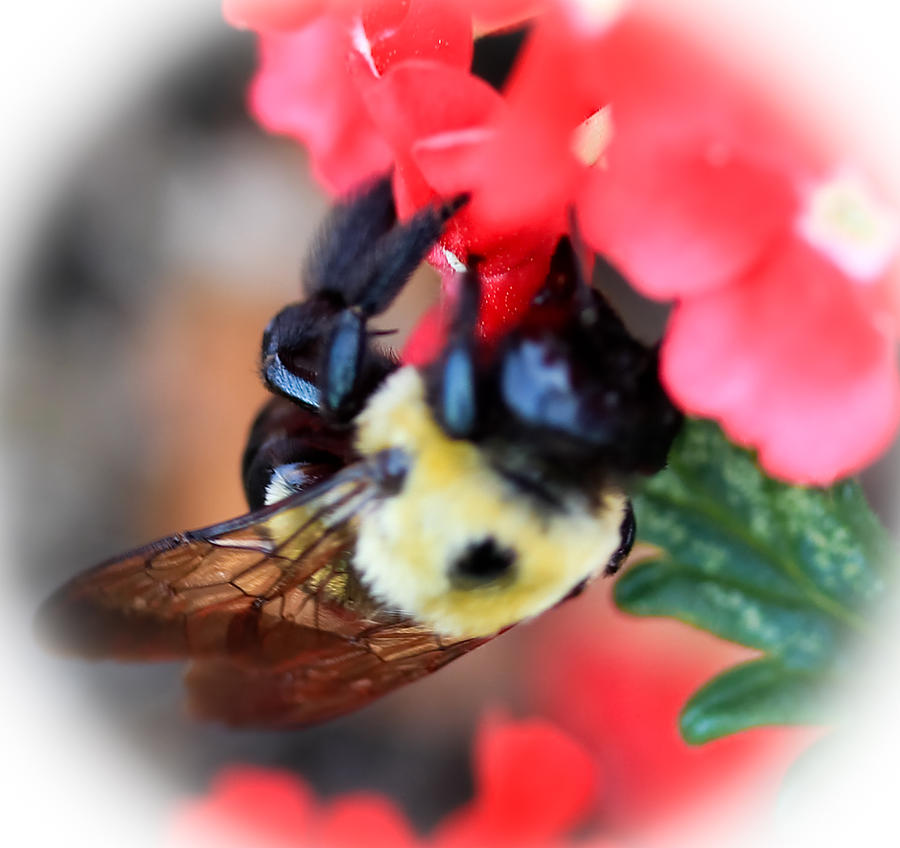 Bee Photograph - Busy Bee by Maureen  McDonald