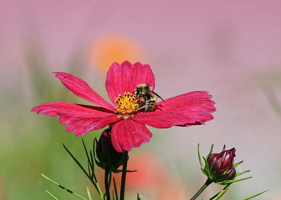 Bumble Bee Photograph - Busy Bee by Ronald Lafleur