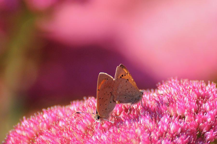 Horizontal Photograph - Butterflies Mating by Darren Moston