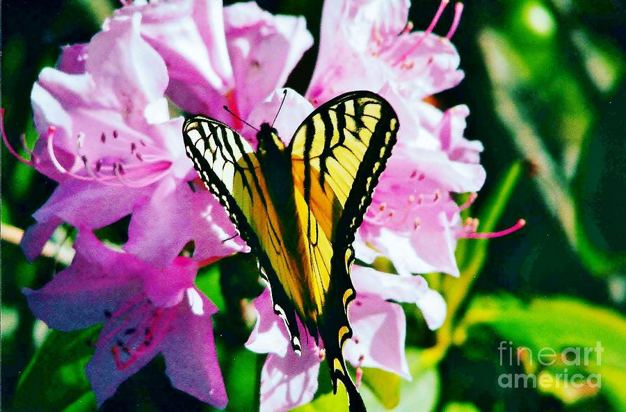 Butterfly Photograph - Butterfly And Rhododenren by Judy Via-Wolff