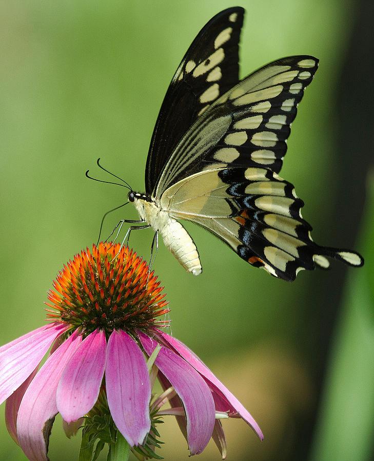 Swallowtail Photograph - Butterfly Beauty by Brenda Hartley-Foubert
