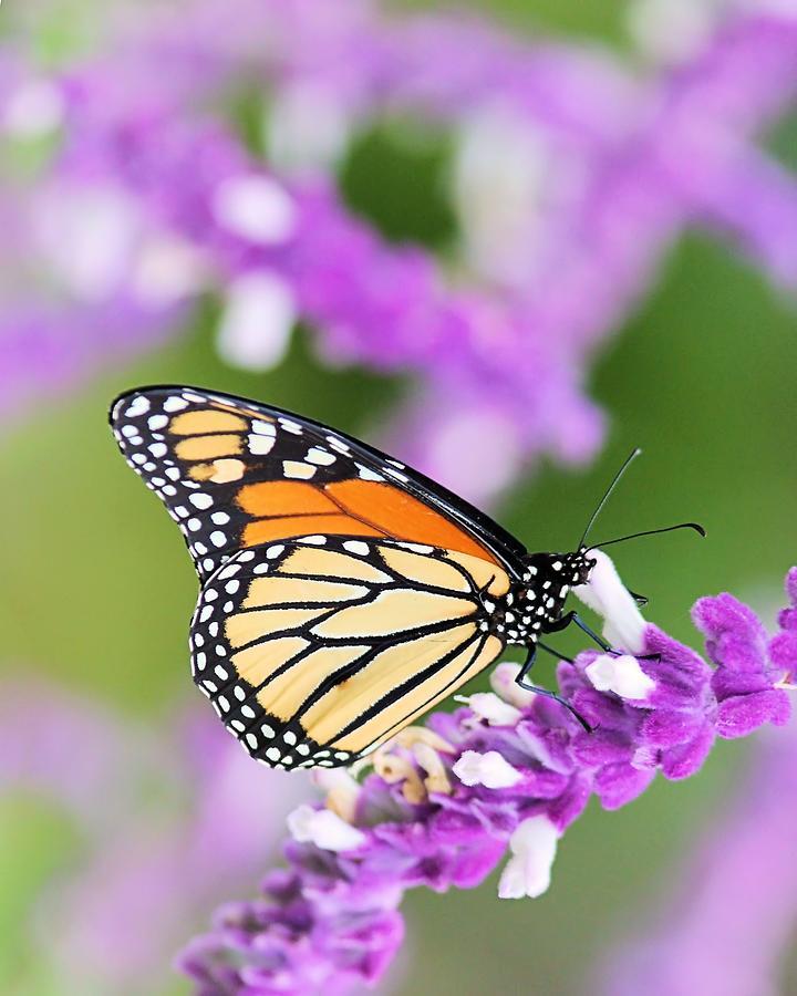 Butterfly Photograph - Butterfly Beauty by Elizabeth Budd