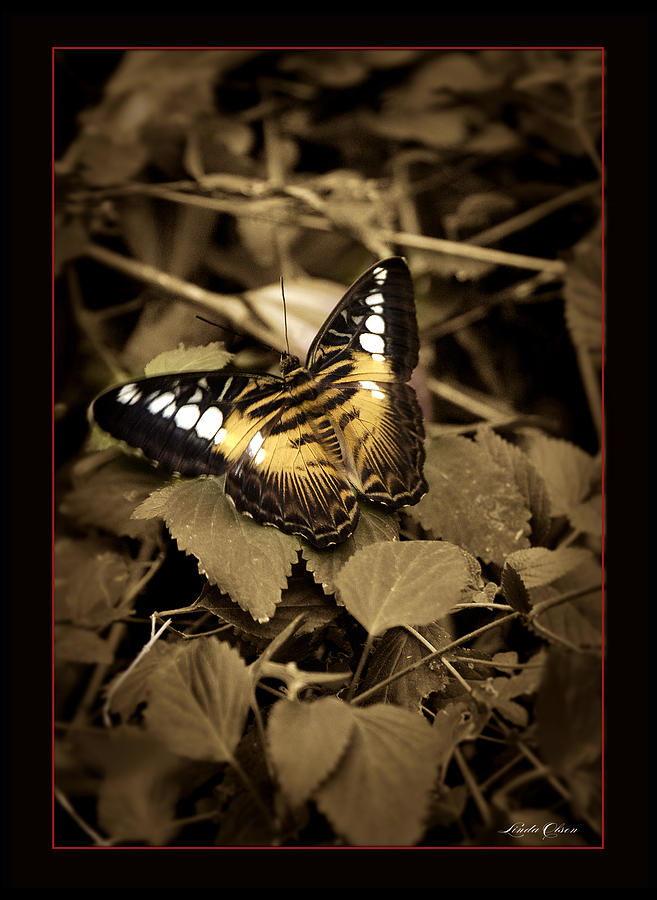 Butterfly Photograph - Butterfly Brown by Linda Olsen