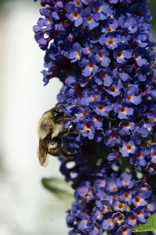 Bee Photograph - Butterfly Bush by Heidi Poulin