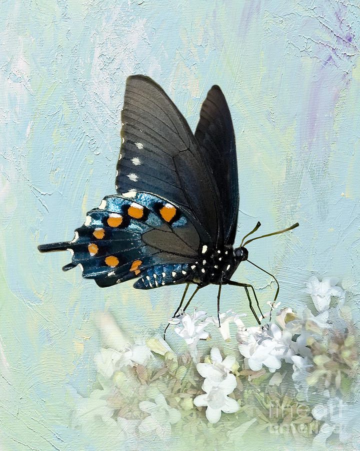 Pipevine Swallowtail Photograph - Butterfly Candy by Betty LaRue