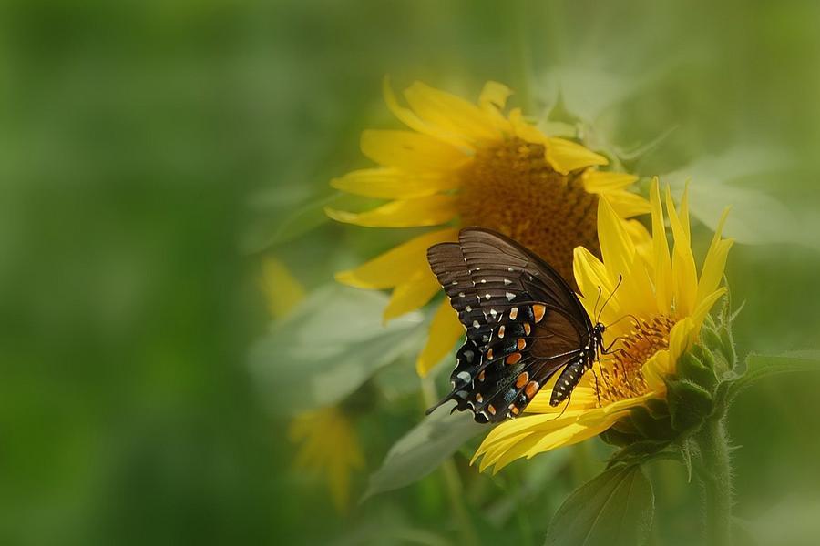 Swallowtail Photograph - Butterfly Dream by David Gunter