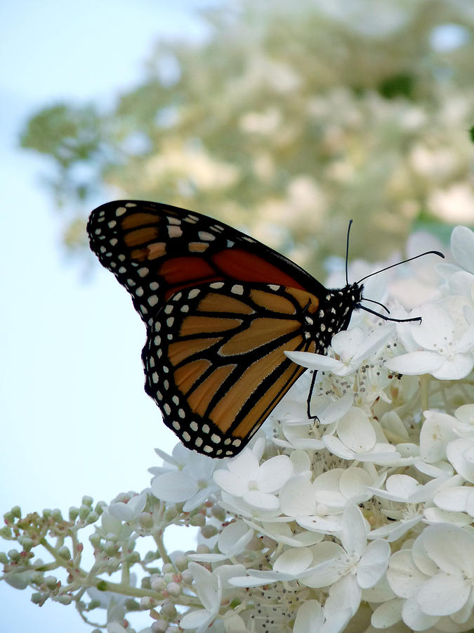 Butterfly Photograph - Butterfly Dreams II by Terry Eve Tanner