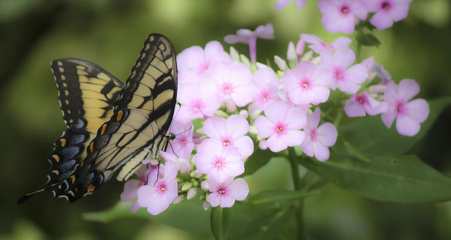 Phlox Photograph - Butterfly Dreams by Teresa Mucha