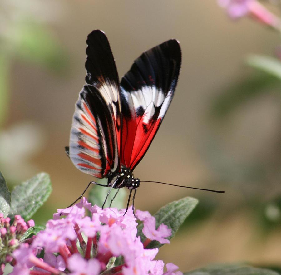Nature Photograph - Butterfly Elegance by Valia Bradshaw