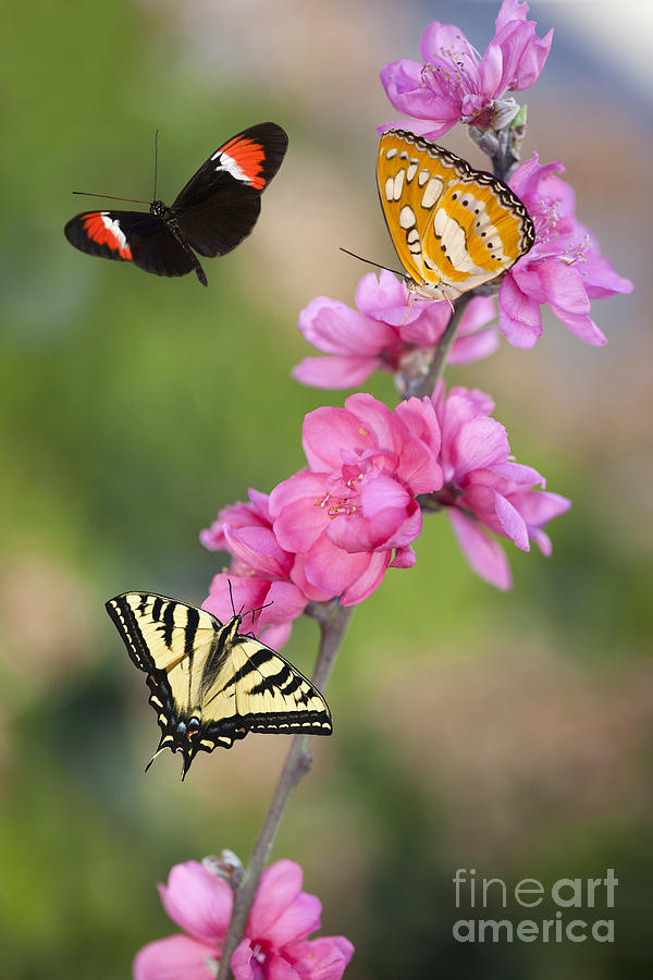 8ae40fffe Butterfly Fantasy With Cherry Blossoms Photograph by Susan Gary