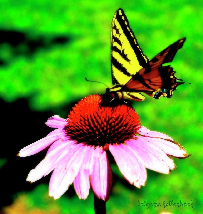 Butterfly Feeding Photograph by Brigette Hollenbeck