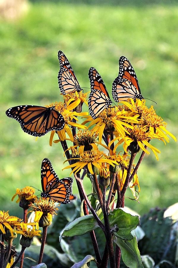Butterflies Photograph   Butterfly Garden By Beckie Amidon Austin