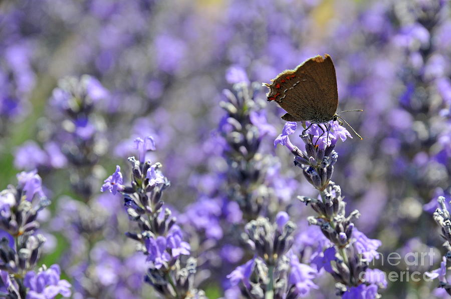 Freshness Photograph - Butterfly Gathering Nectar From Lavender Flowers by Sami Sarkis