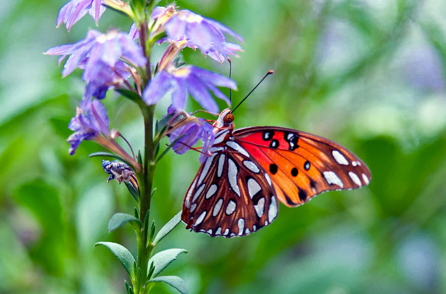 Butterfly Photograph by Linda Pulvermacher