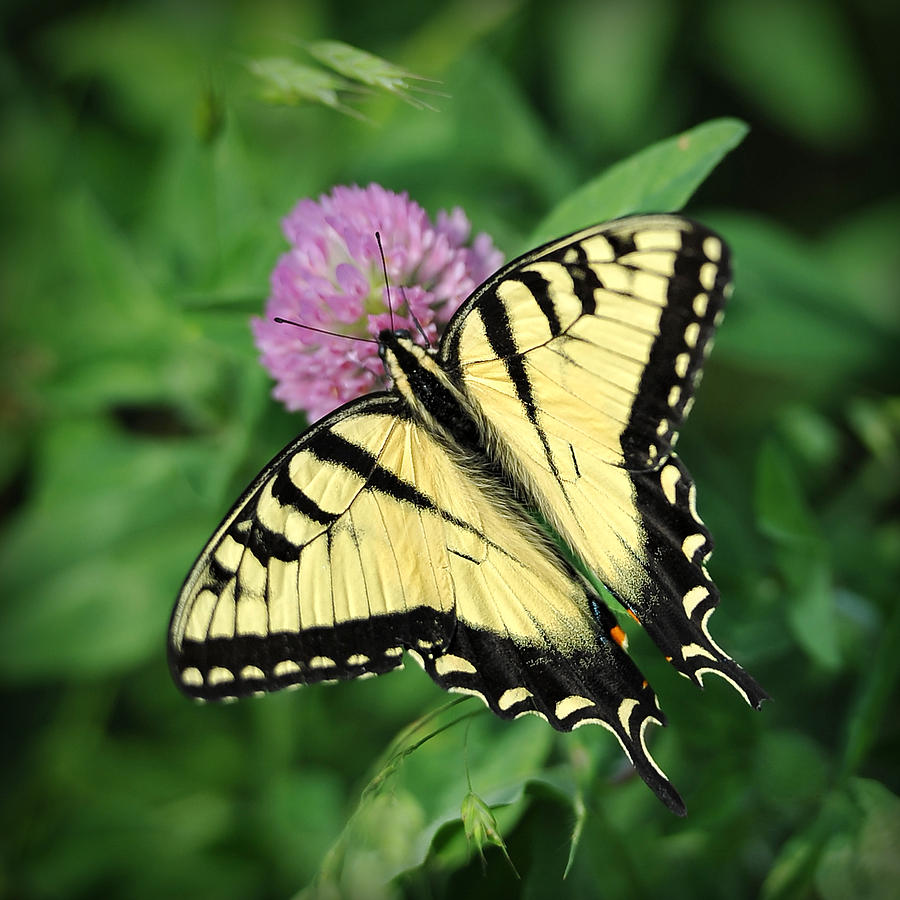 Butterfly Photograph - Butterfly on Clover by Brian Mollenkopf