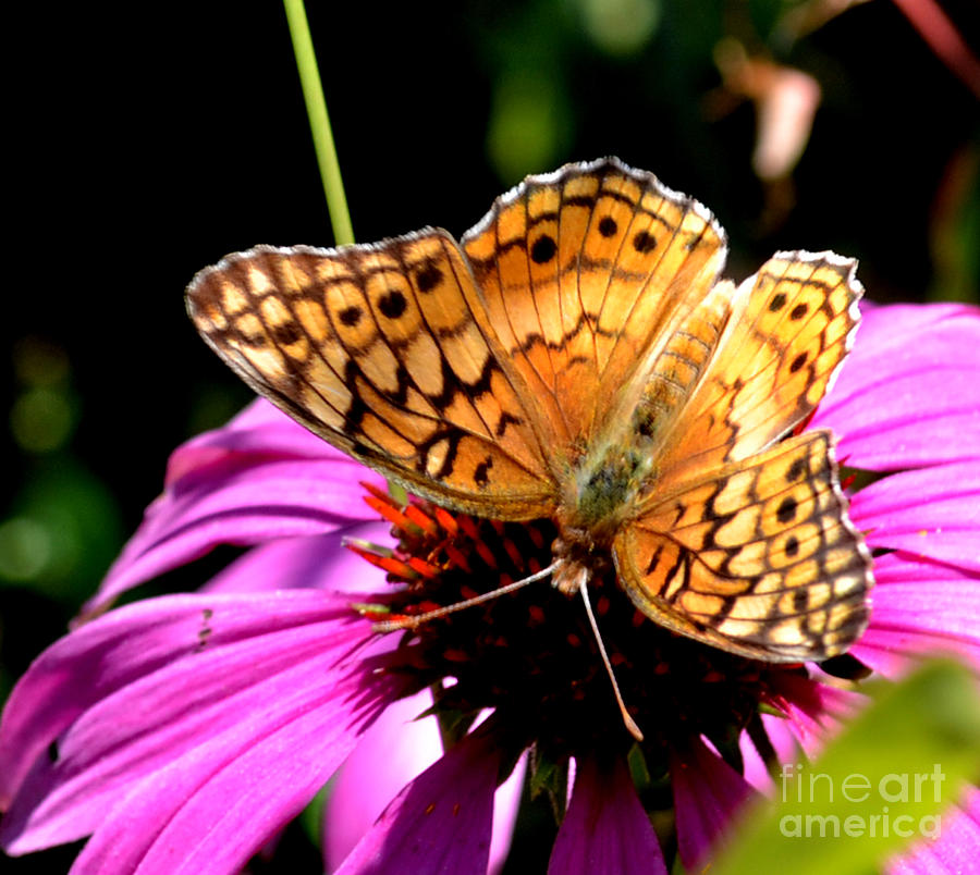 Botanical Photograph - Butterfly On Coneflower-05 by Eva Thomas