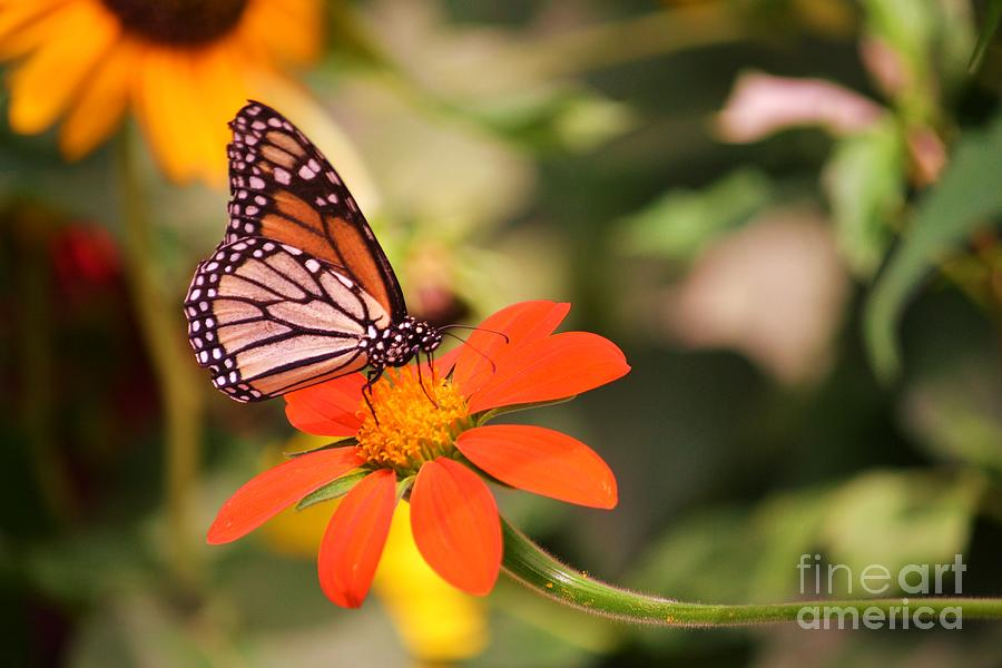 Butterfly Photograph - Butterfly On Flower 1 by Artie Wallace