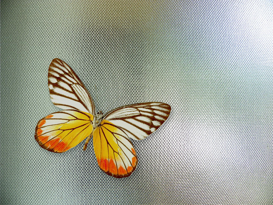 Butterfly Photograph - Butterfly On Glass by Nandan Nagwekar