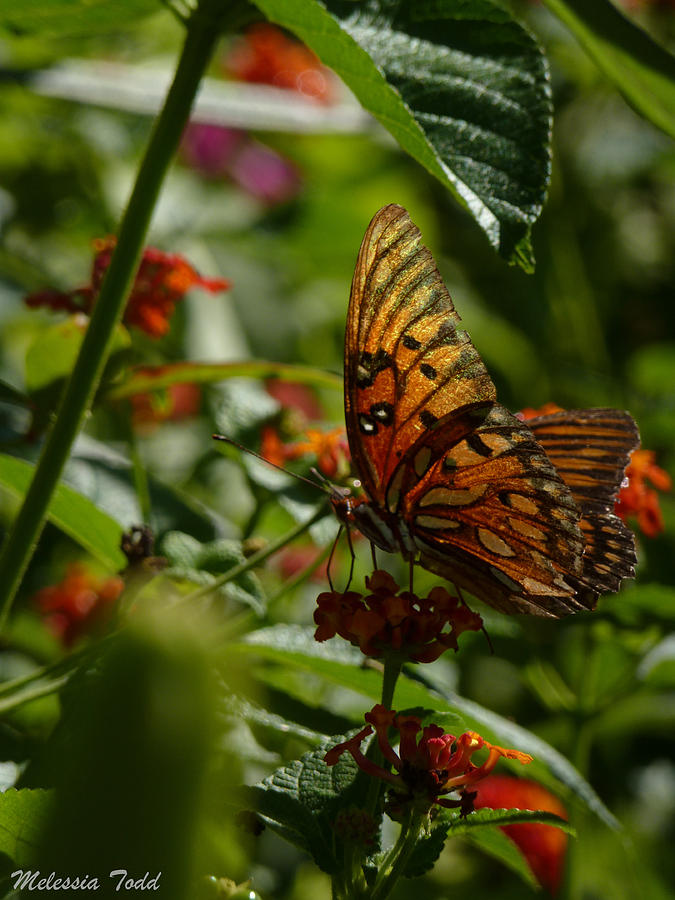 Butterfly Photograph - Butterfly On Lantana by Melessia  Todd