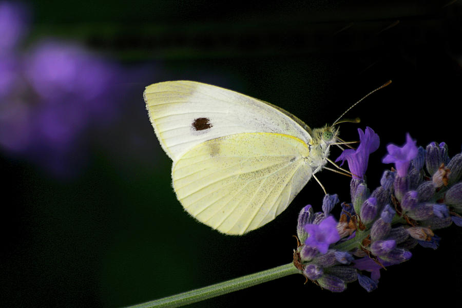 Horizontal Photograph - Butterfly On Lavender Flower by Annfrau