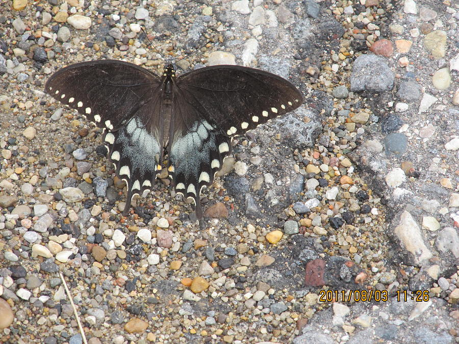 Butterfly Photograph - Butterfly On My Hike Route by Tina M Wenger