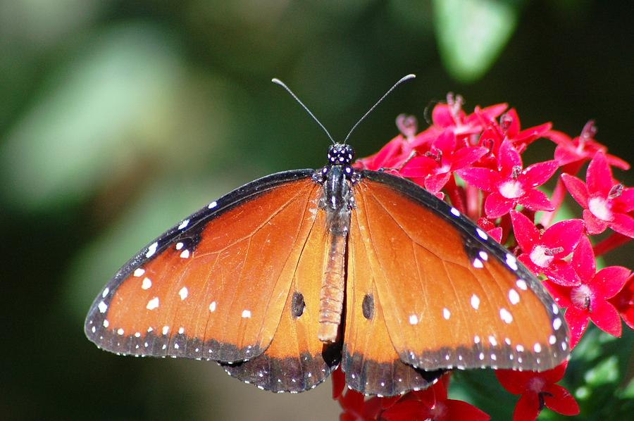 Butterfly On Pink Flower Photograph by Meeli Sonn