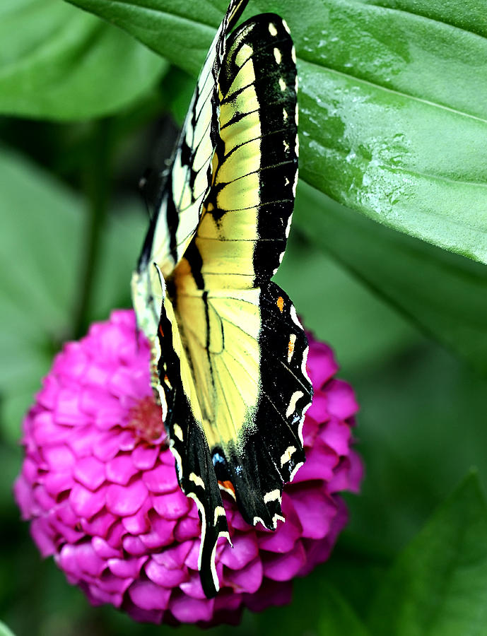 Zinnia; Flower; Floral; Flora; Fauna; Butterfly; Insect; Pink; Green; Yellow; Colorful; Colourful; Bright; Season; Spring; Summer; Wings; Damaged; Feeding; Nectar; Fly; Garden; Outdoors; One; Leaves; Patterns; Pretty Photograph - Butterfly On Pink by Susan Leggett