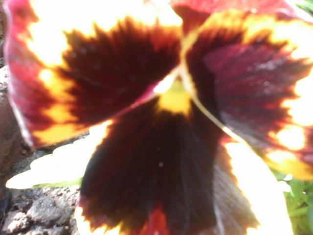 Butterfly Photograph - Butterfly Or Flower by Amisha Tripathy