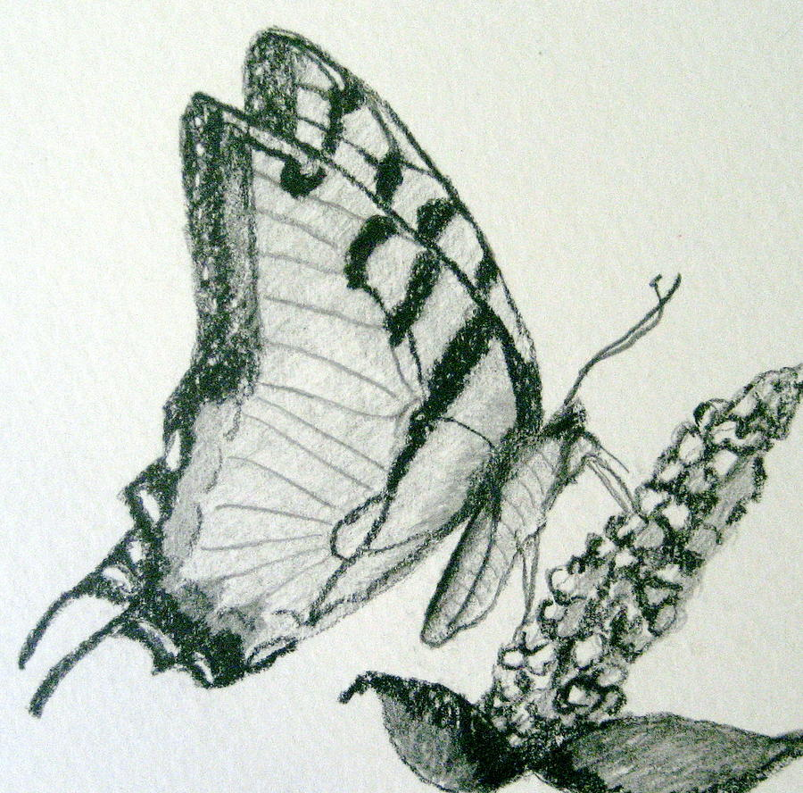 Butterfly-Pencil Drawing by Marita McVeigh