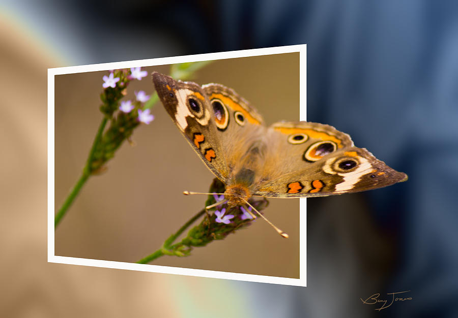 Buckeye Butterfly Photograph - Butterfly Stepping Out by Barry Jones