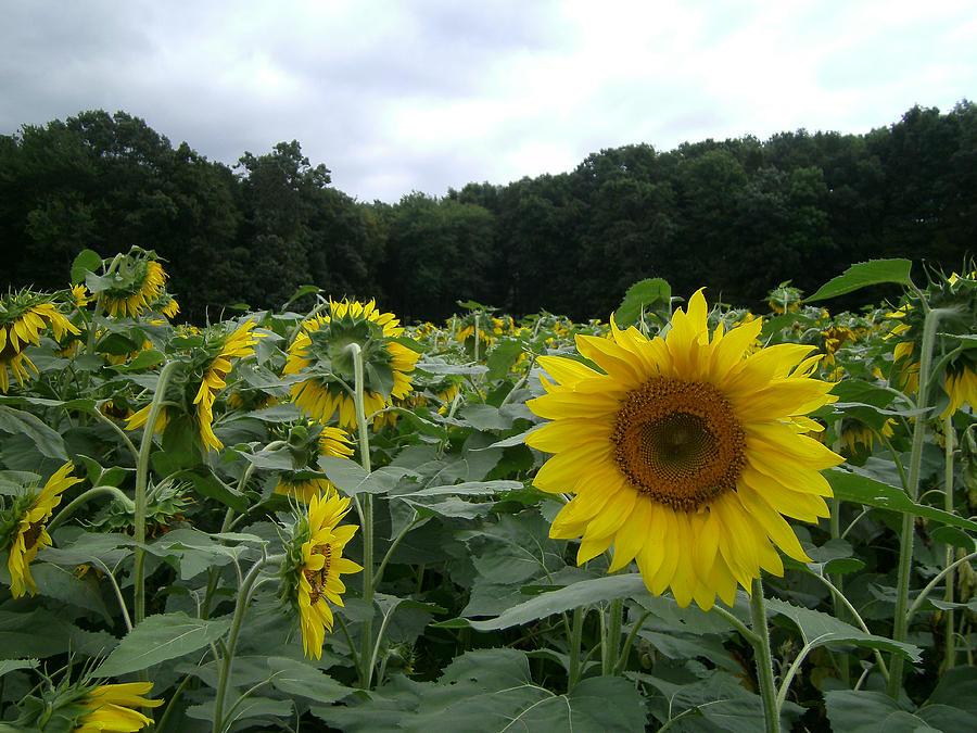 Sunflower Photograph - Buttonwoods Sunflowers by Jason Sawicki