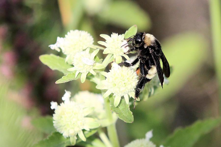 Bees Photograph - Buzz by Laura Oakman