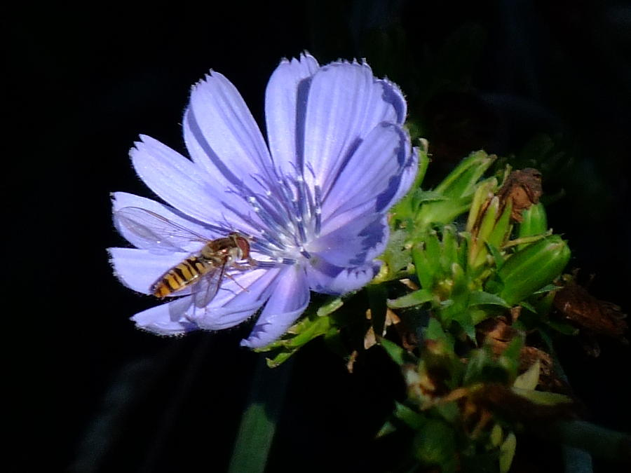 Bee Photograph - Buzzy In Blue by Alison Richardson-Douglas