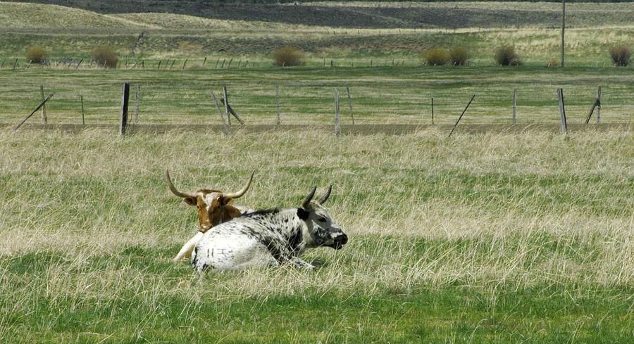 Steer Photograph - By The Horns by Sara Stevenson