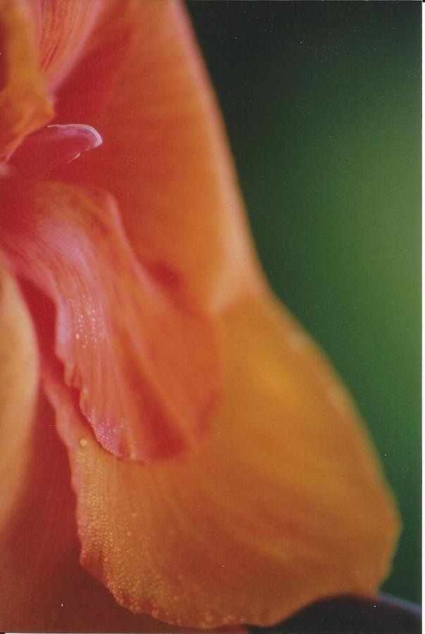 Canna Photograph - C. Lily by Kennith Mccoy