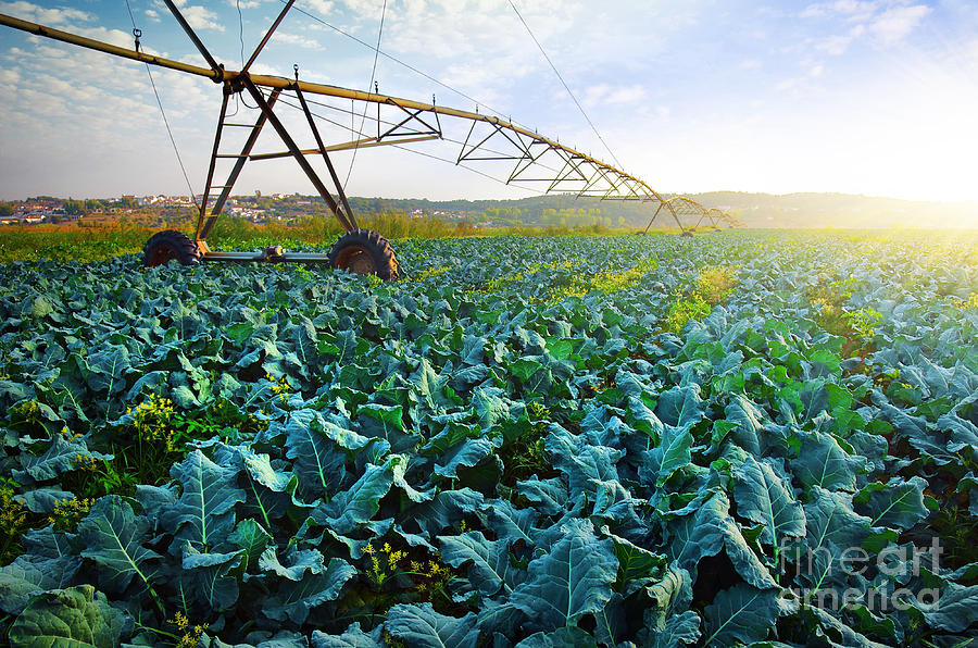 Agriculture Photograph - Cabbage Growth by Carlos Caetano