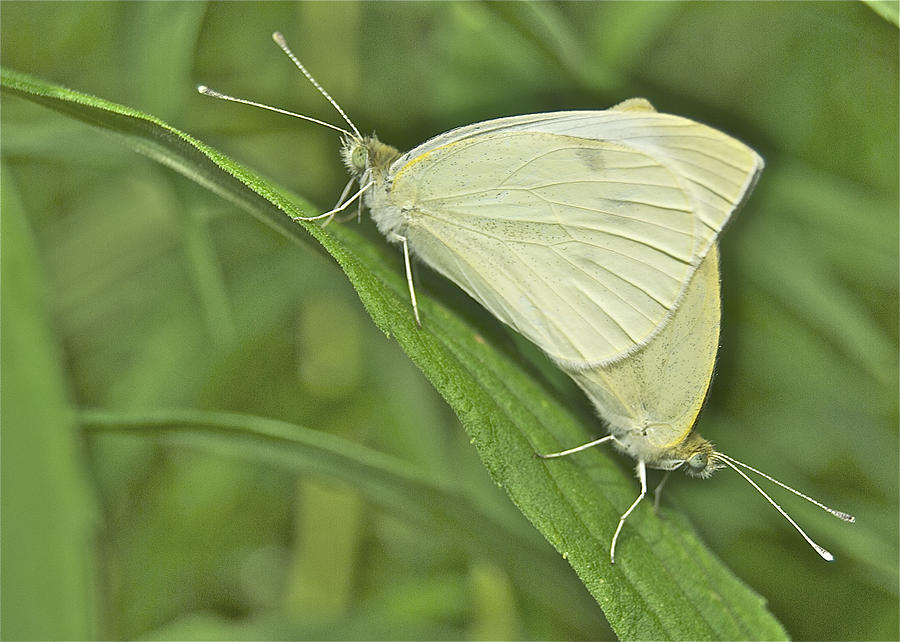 Animal Photograph - Cabbage White Butterflies 5267 by Michael Peychich