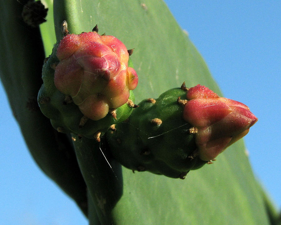Nature Photograph - Cactus Buds by Peg Urban