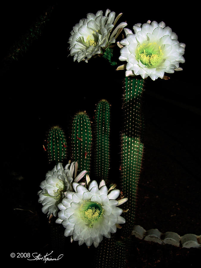 Cactus Flower Blooms At Night Only Photograph By Steve Knievel